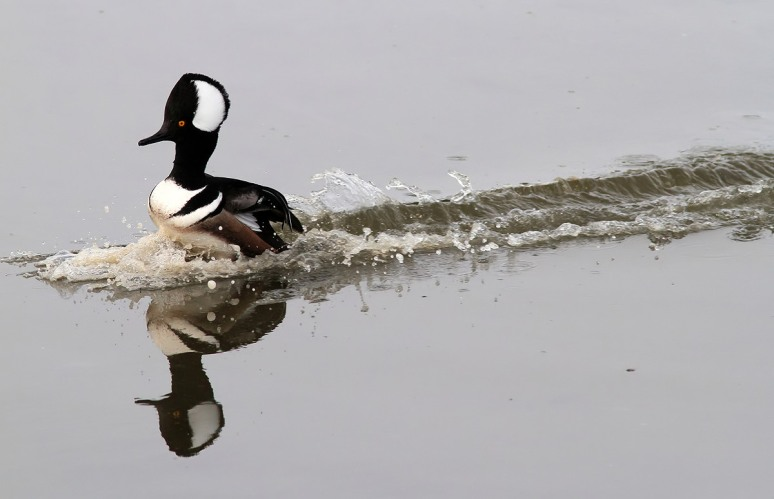 Merganser Coming and Going