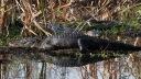 Morning Alligators in the Swamp
