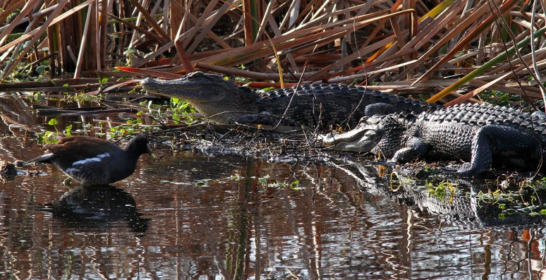 Morning Alligators in the Swamp