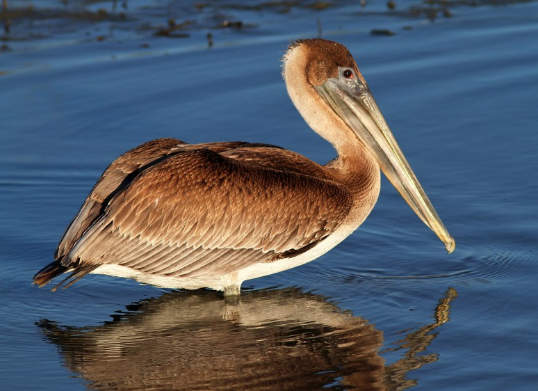 Pelican Leaving The Marsh