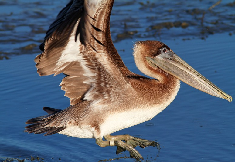 Pelican Leaving The Marsh