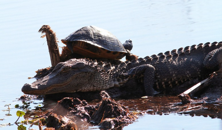 Alligator and Turtle in Swamp