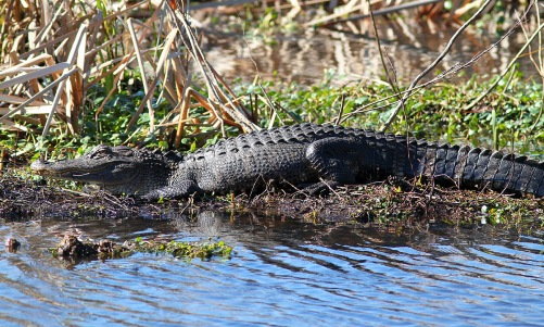 Image result for alligators in a swamp