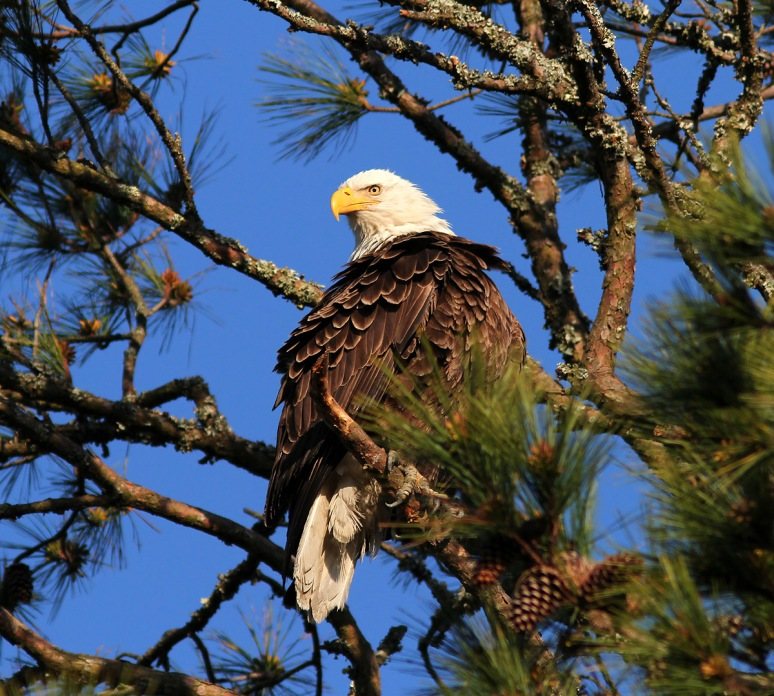 Bald Eagle Leaves the Pine Tree