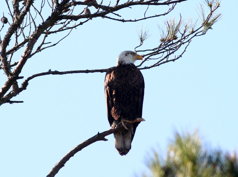 Bald Eagle Pair in Tree