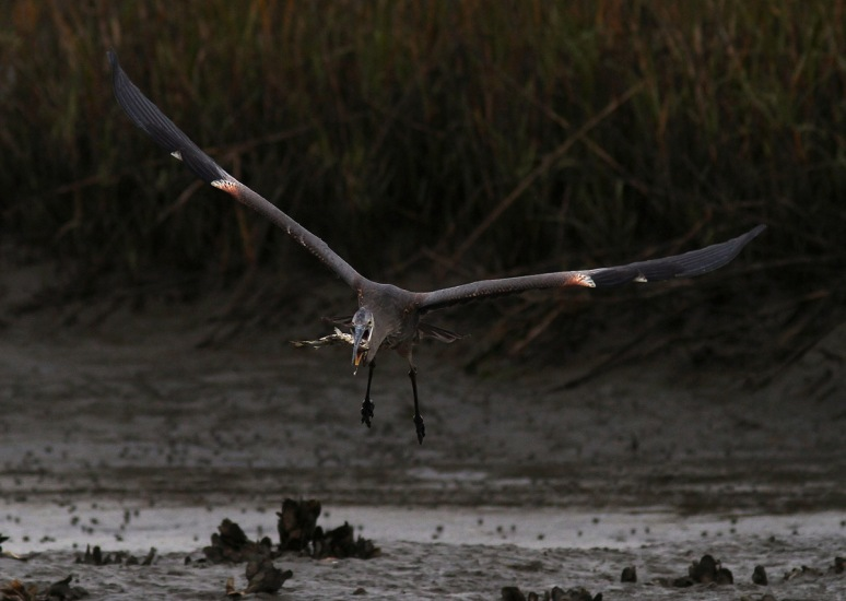 GBH Takes Fish From Egret