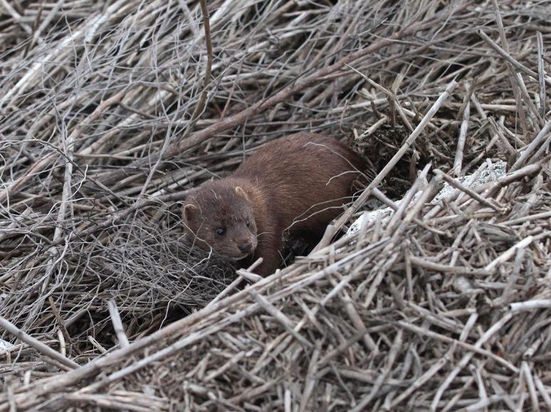Mink in the Salt Marsh