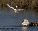 Snowys Fighting in the Marsh