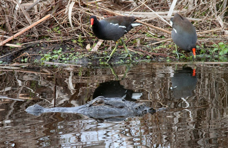 Alligator and Moorhens
