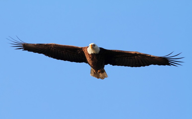 Bald Eagle Looking at Me