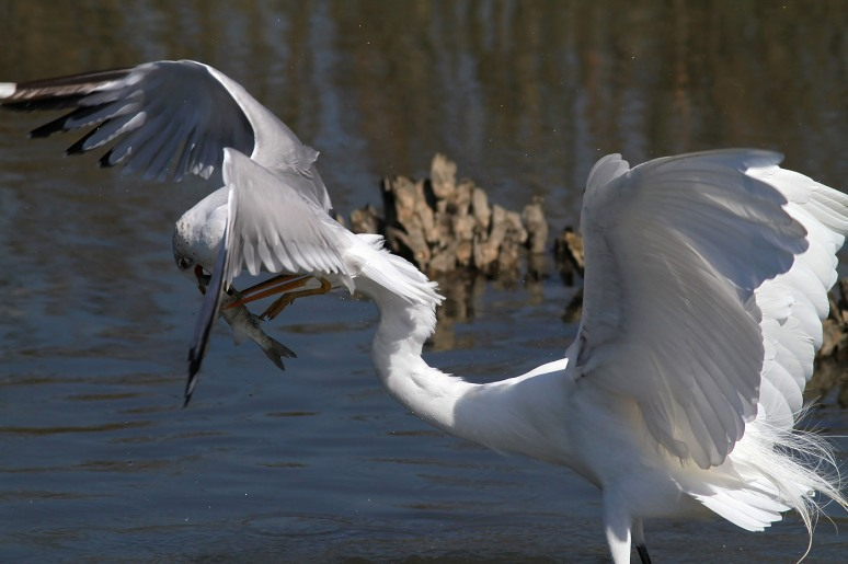 Gull Takes Fish From Egret