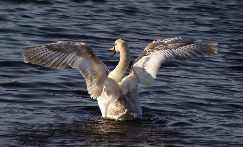 Late Afternoon Swan
