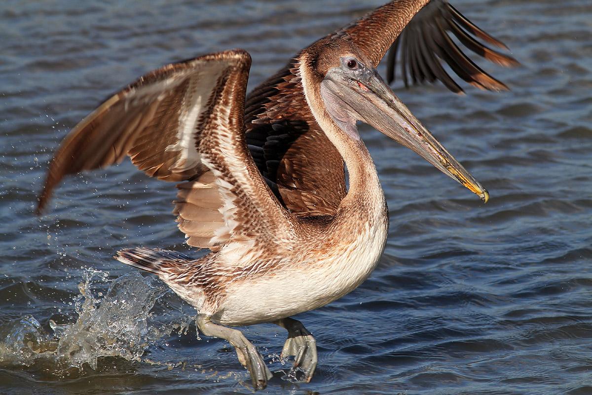[Image: pelican-fishing-05.jpg]