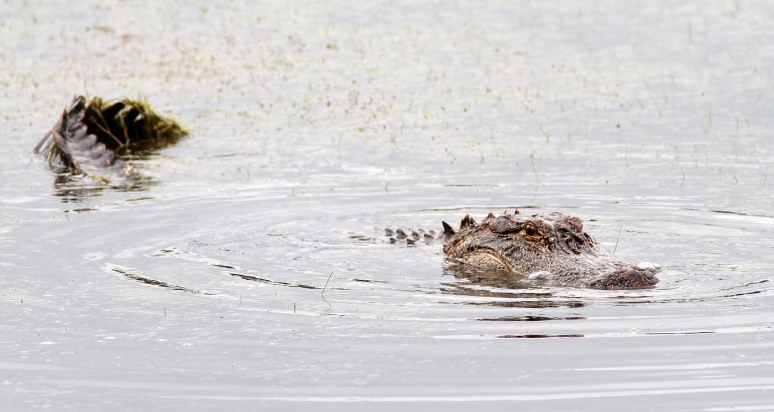Alligator Catches Afternoon Crab