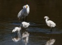 Egret and Snowy Group