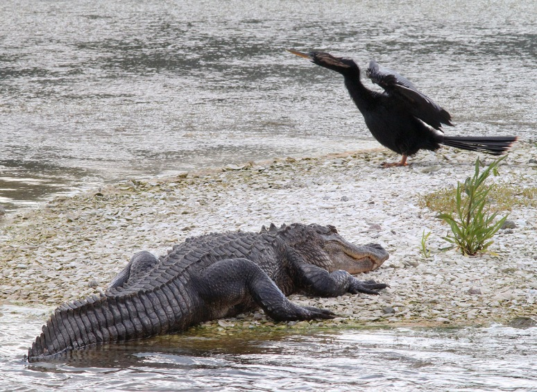 Alligator and Anhinga on GI