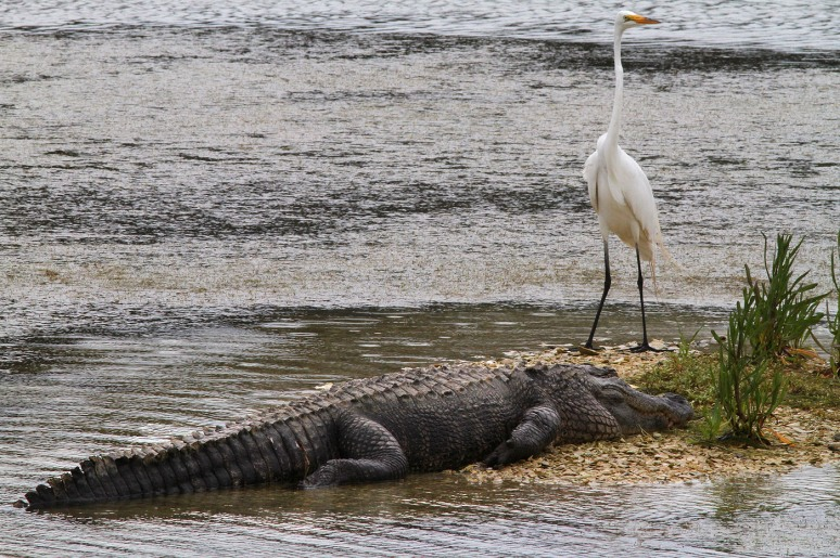 Alligator and Egret