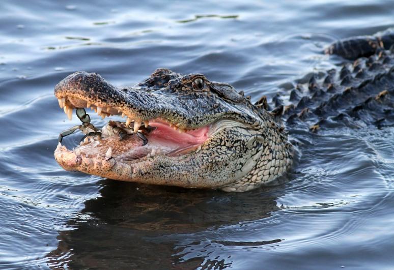 Alligator Crabbing in Salt Marsh