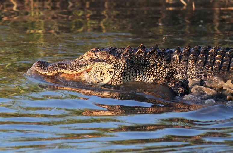 Alligator Feeding in the Salt Marsh