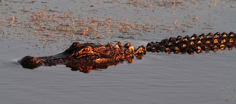 Alligator Floating in at Sunset