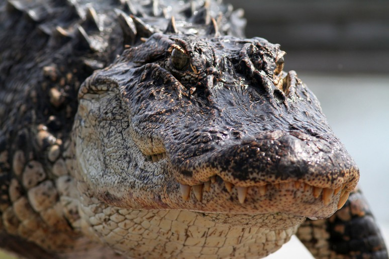 Alligator Walks Out Of Salt Marsh