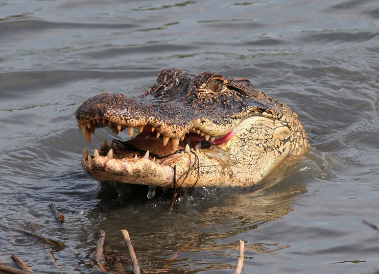 Alligator with Crab in Salt Marsh