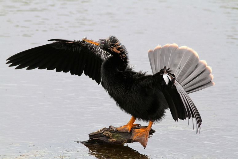 Anhinga Fishing in Marsh Pond