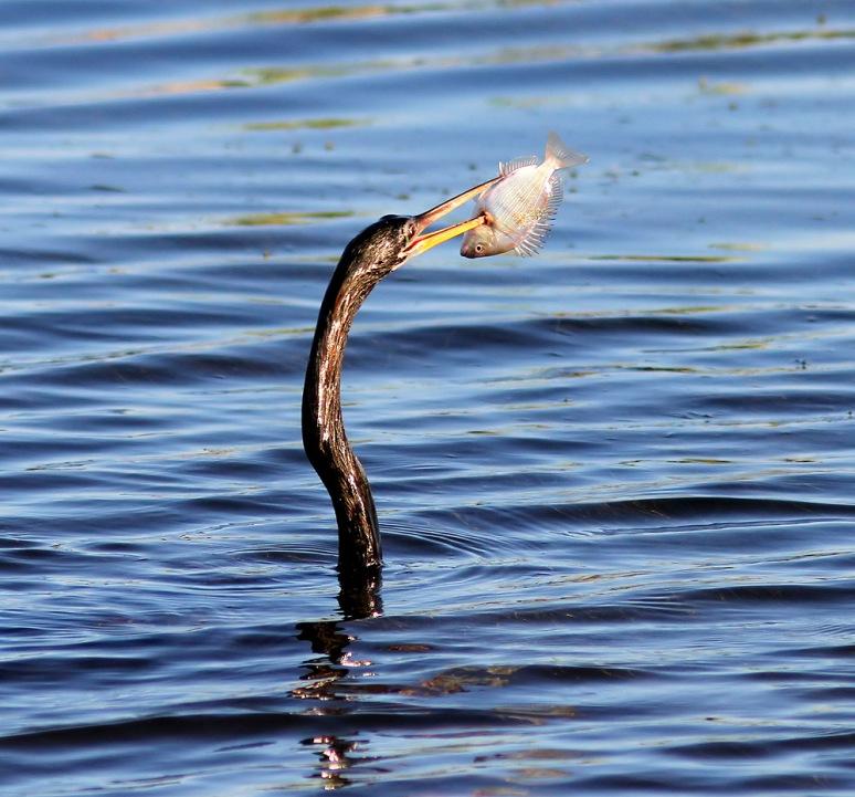 Anhinga Fishing in the Marsh Pond