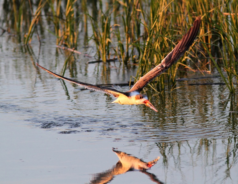 Black Skimmer Fishing in the Salt Marsh