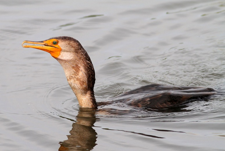 Cormorant Fishing in the Salt Marsh