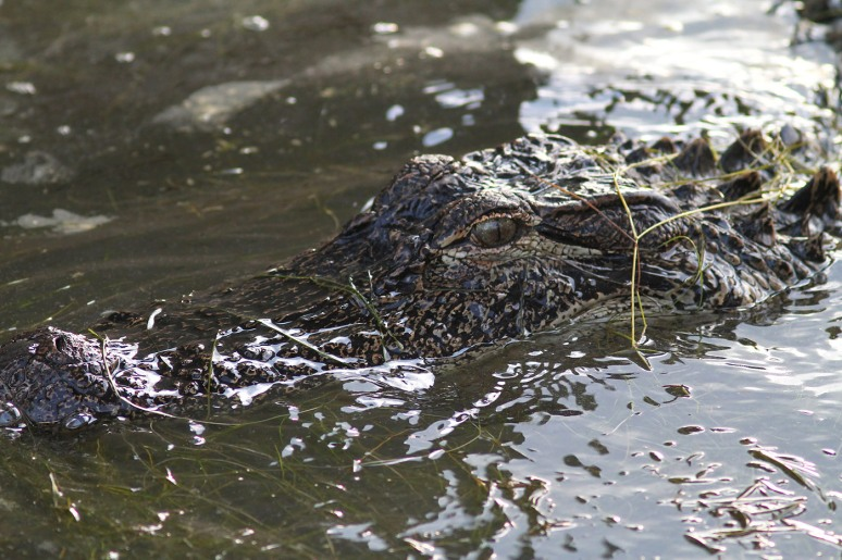 Gator Head in Marsh Pond