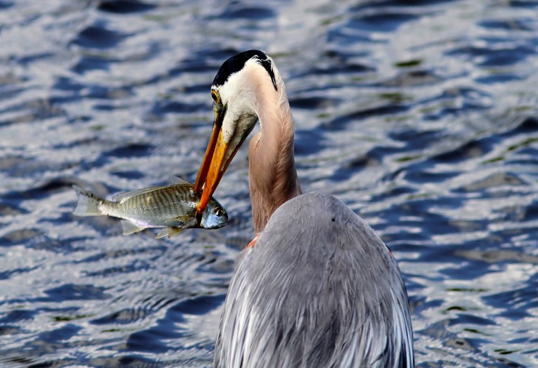 GBH Fishing in the Salt Marsh