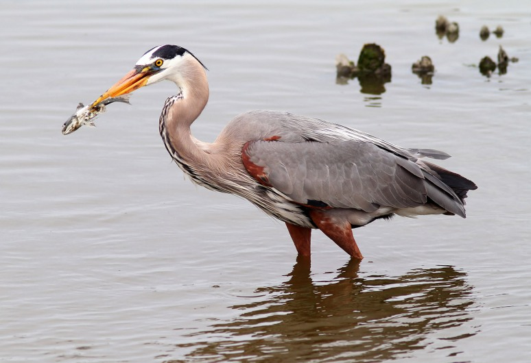 GBH with Muddy Fish