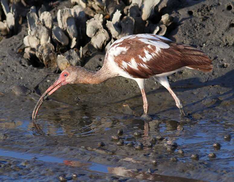 Juvenile Ibis Fishing