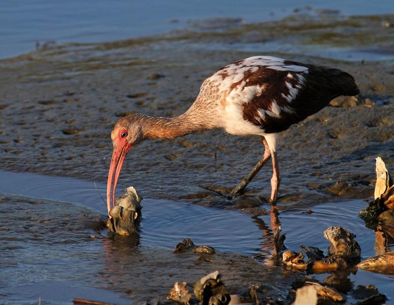Juvenile Ibis Fishing