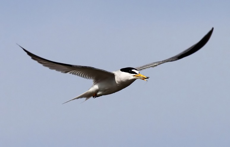 Least Tern Flight with Shrimp