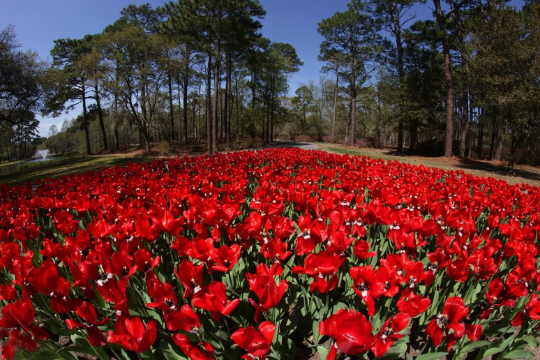Red Tulips At Brookgreen Gardens