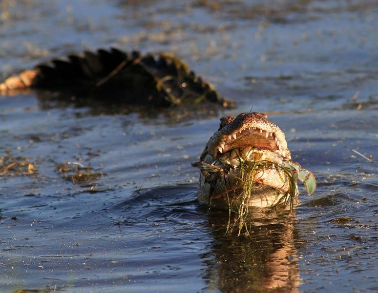 Small Alligator Catches Big Crab