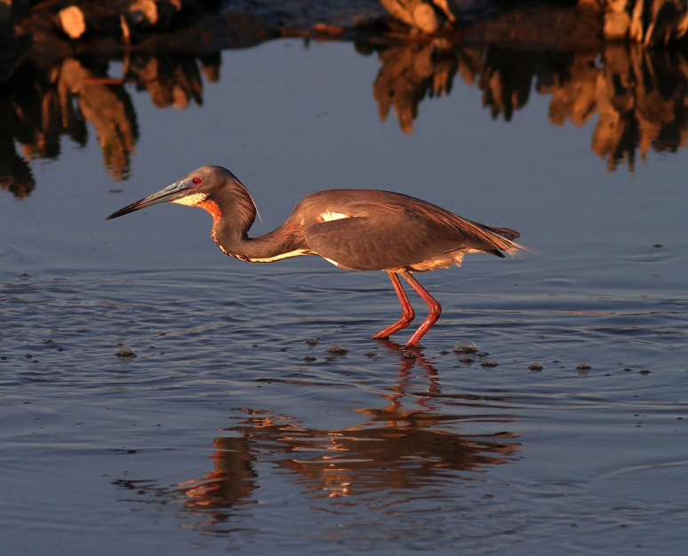 Tricolored Heron Fishing at Sunset