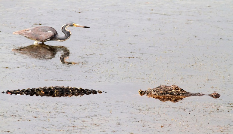 Alligator and Tricolored Heron