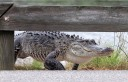 Alligator Carefully Walks Across Causeway