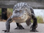 Alligator Carefully Walks AcrossCauseway