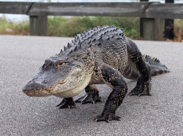 Alligator Carefully Walks Across Causeway