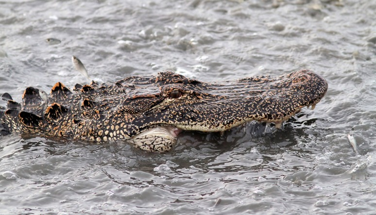 Alligator Fishing in the Salt Marsh