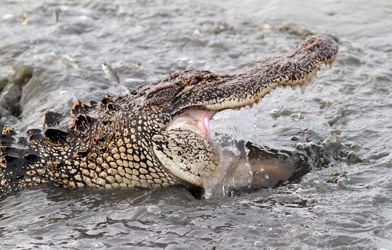 Alligator Fishing in the Salt Marsh