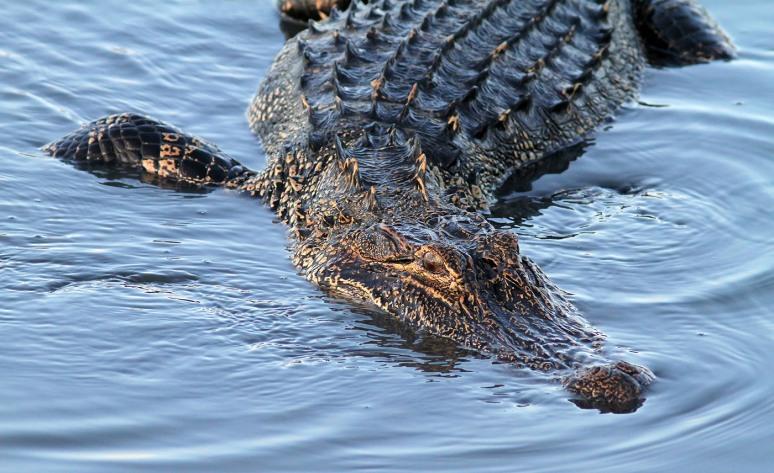 Alligator Splashing