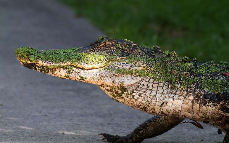 Alligator Walking Into Swamp