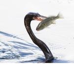 Anhinga Double SkeweredFish