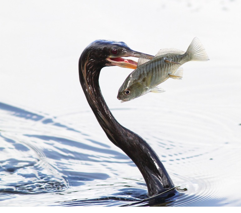 Anhinga Double Skewered Fish