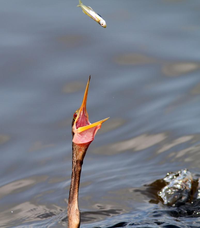 Anhinga Loses a Fish